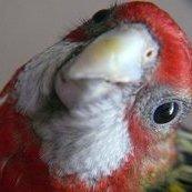 Lenin the Parakeet